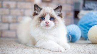 猫 ブリーダー